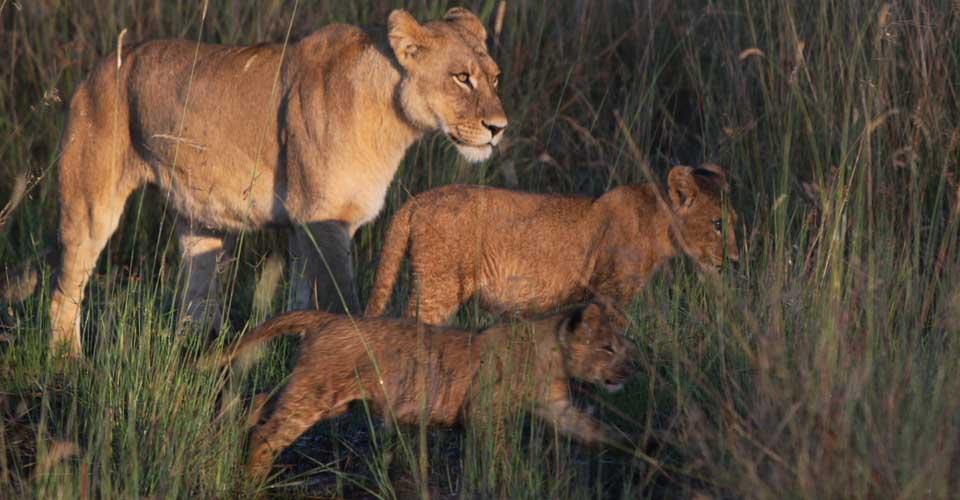 Southwest African lions, Okavango Delta, Botswana