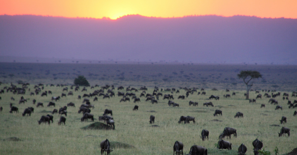 Wildebeest migration, Olare Motorogi Private Conservancy, Kenya