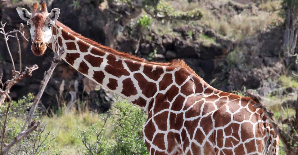 Reticulated giraffe, Lewa Wildlife Conservancy, Kenya