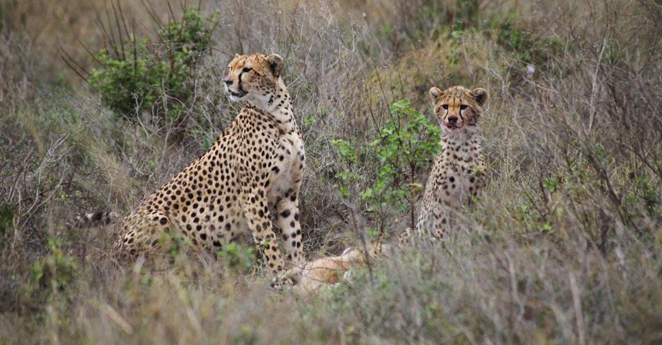 Cheetah, Maasai Mara National Reserve, Kenya