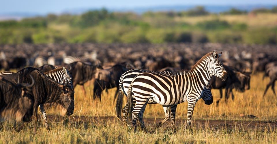 Burchell's zebra and blue wildebeest, Maasai Mara National Reserve, Kenya