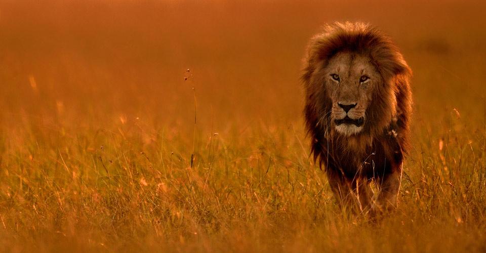 Maasai lion, Naboisho Private Conservancy, Kenya