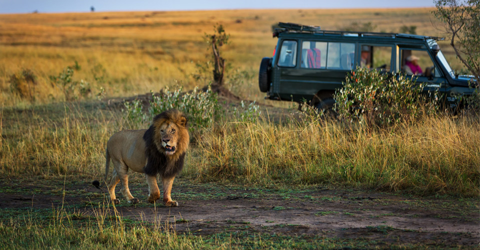 Maasai lion, Borana Wildlife Conservancy, Kenya