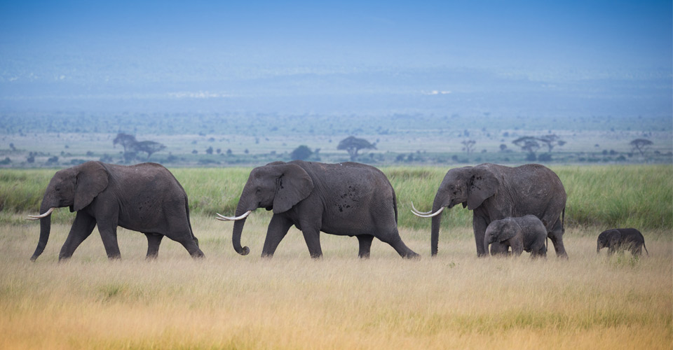 African elephants, Lewa Wildlife Conservancy, Kenya