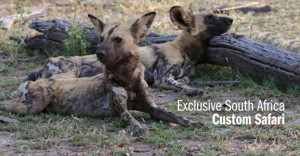 African wild dogs, Madikwe Game Reserve, South Africa