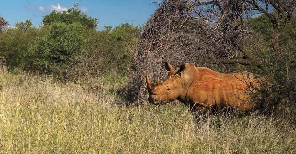 White rhino, Madikwe Game Reserve, South Africa