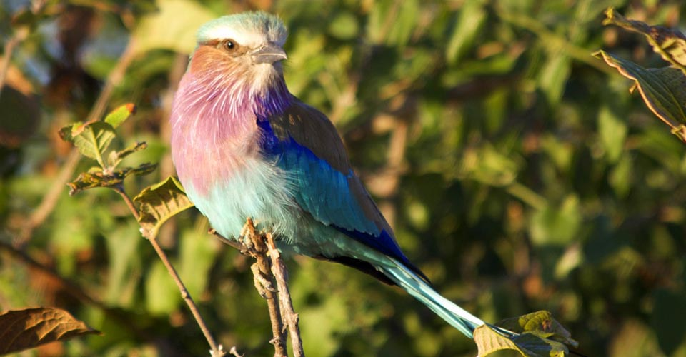 Lilac breasted roller, Greater Kruger Park, South Africa