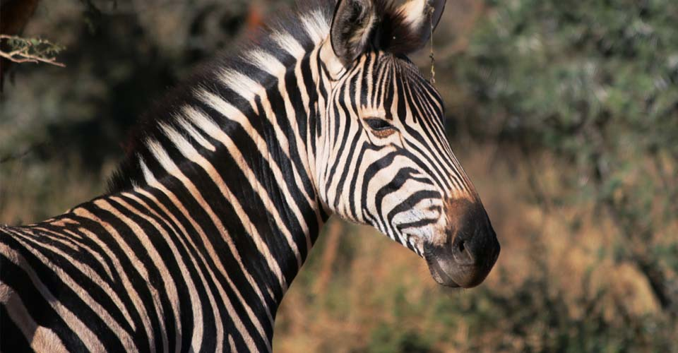 Burchell's zebra, Greater Kruger Park, South Africa
