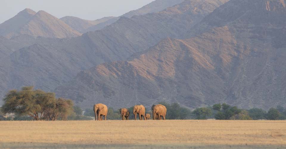 African elephants, Palmwag Concession, Namibia
