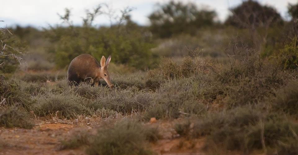 Aardvark, Samara Private Reserve, South Africa