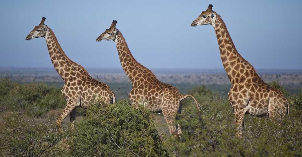 South African giraffe, Samara Private Reserve, South Africa