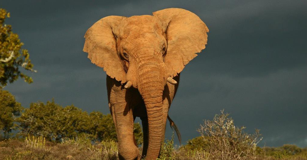 African elephant, Kwandwe Private Game Reserve, South Africa