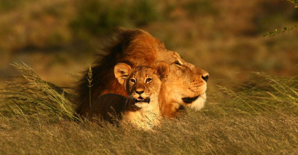 Southwest African lions, Kwandwe Private Game Reserve, South Africa