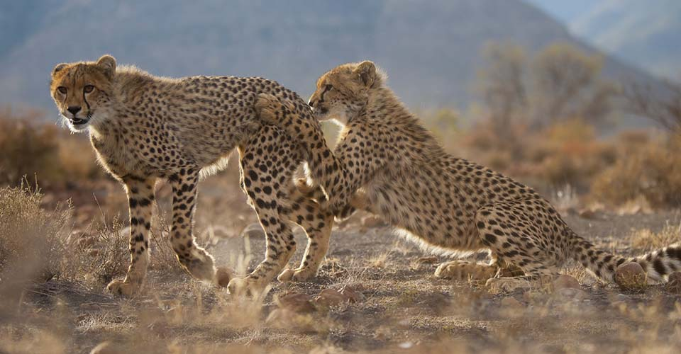 Cheetah, Samara Private Reserve, South Africa