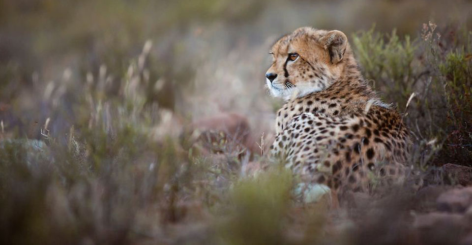 Cheetah, Samara Private Reserve, South Africa