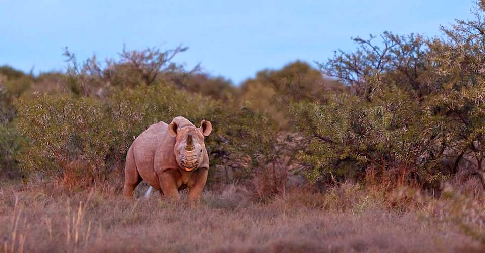 Black rhino, Samara Private Reserve, South Africa
