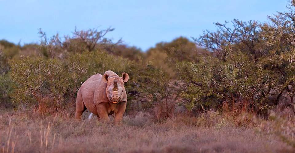 Black rhino, Samara Private Reserve, South Africa
