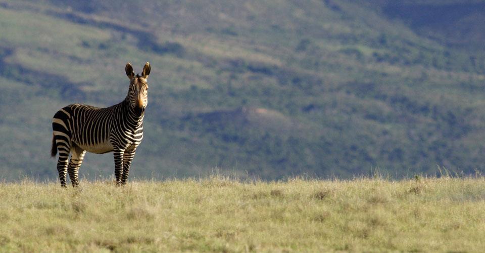 Cape mountain zebra, Samara Private Reserve, South Africa