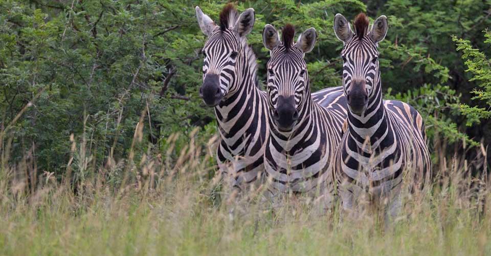 Burchell's zebra, Sabi Sand Game Reserve, South Africa