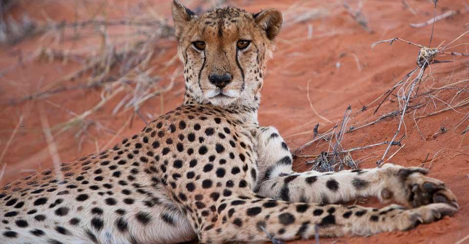Cheetah, Tswalu Kalahari Reserve, South Africa