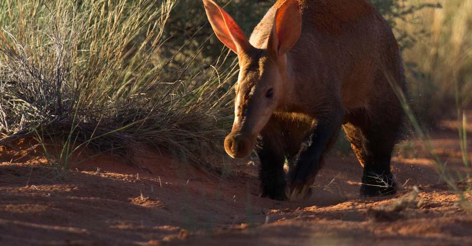 Aardvark, Tswalu Kalahari Reserve, South Africa
