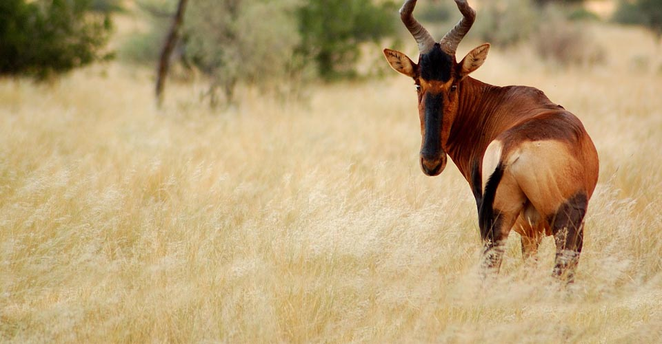 Red hartebeest, Tswalu Kalahari Reserve, South Africa