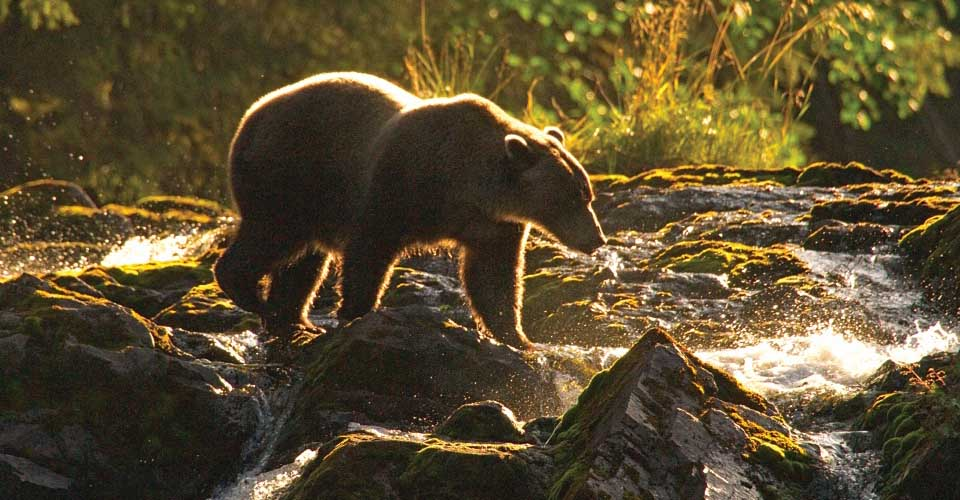 Brown bear, Chichagof Island, Alaska