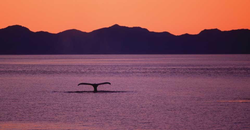 Humpback whale tail, Chatham Strait, Alaska