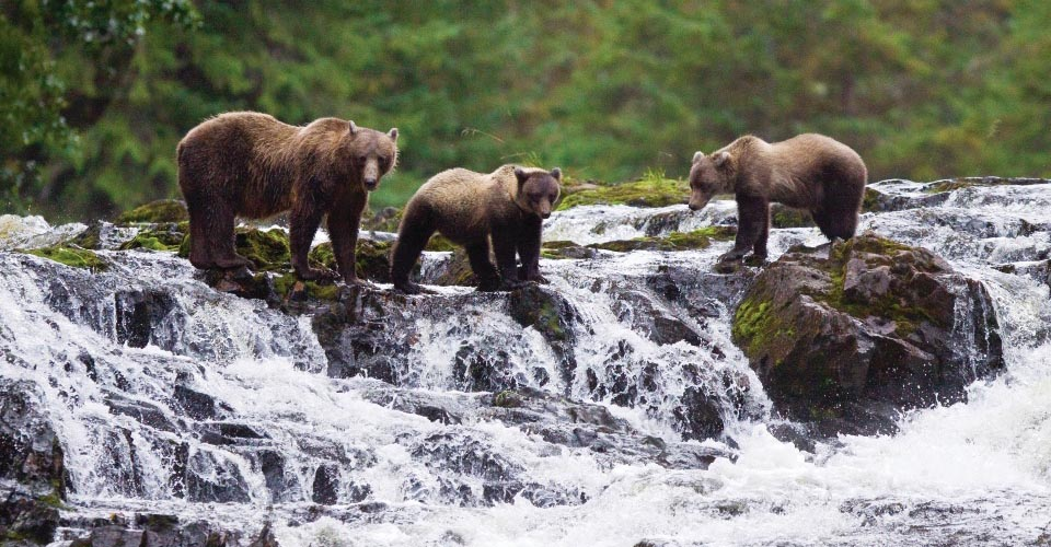 Brown bear with cubs, Pavlof Harbor, Alaska