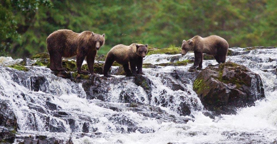 Brown Bear with cubs, Pavlof Harbor, Alaska