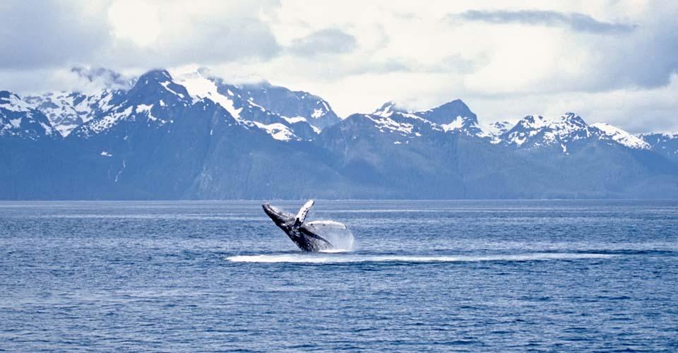 Humpback whale, Frederick Sound, Alaska, USA