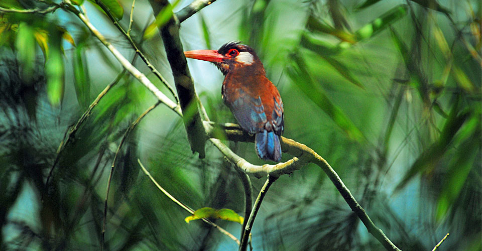 Woodcreeper, Amazon