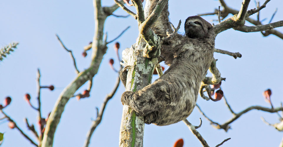 Three-toed sloth, Amazon