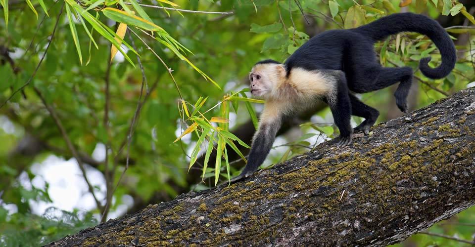 Capuchin monkey, Pacaya-Samiria National Reserve, Peru