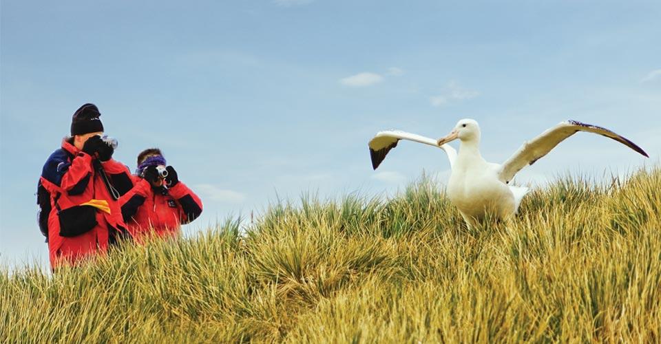 Albatross, South Georgia