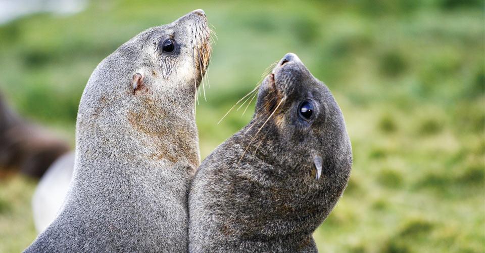 Antarctic fur seals, South Georgia