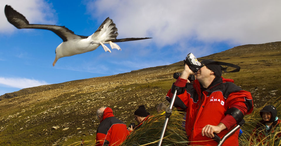 Giant albatross, Falkland Islands