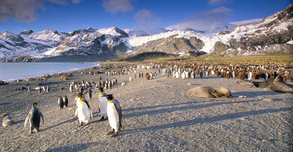 King penguins and elephant seals, South Georgia Island