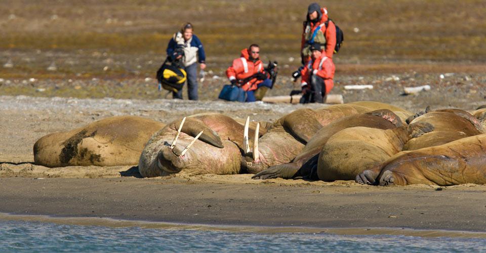 Walruses, Kapp Lee, Svalbard