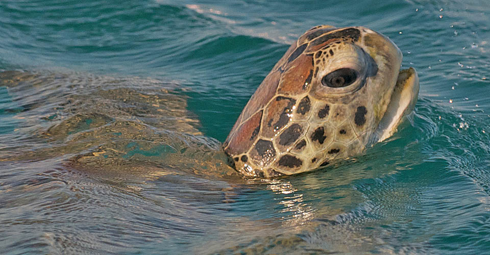 Green sea turtle, Montgomery Reef, Australia