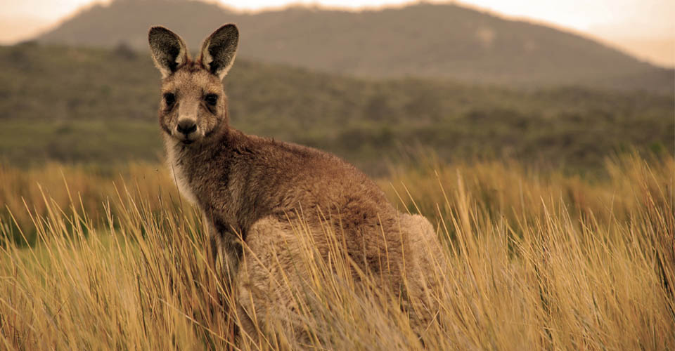 Wallaby, Outback, Australia