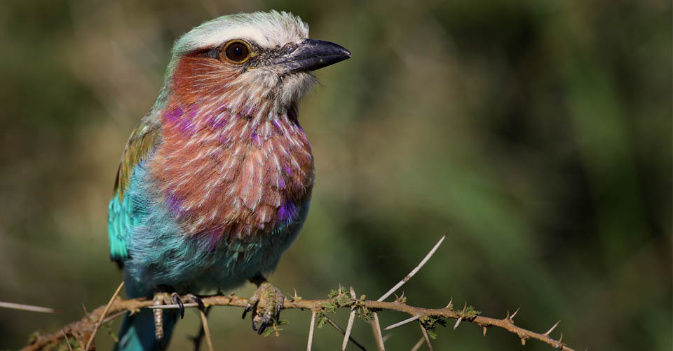 Lilac-breasted roller, Maasai Mara National Reserve, Kenya