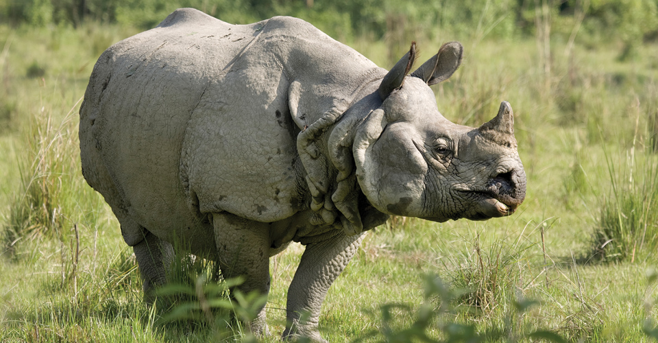 Asian one-horned rhinoceros, Chitwan National Park, Nepal