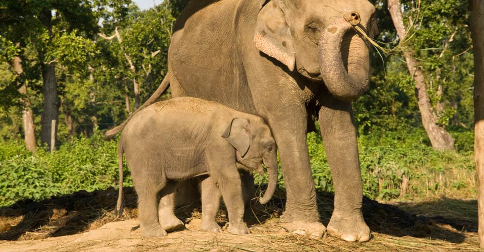 Indian elephants, Chitwan National Park, Nepal