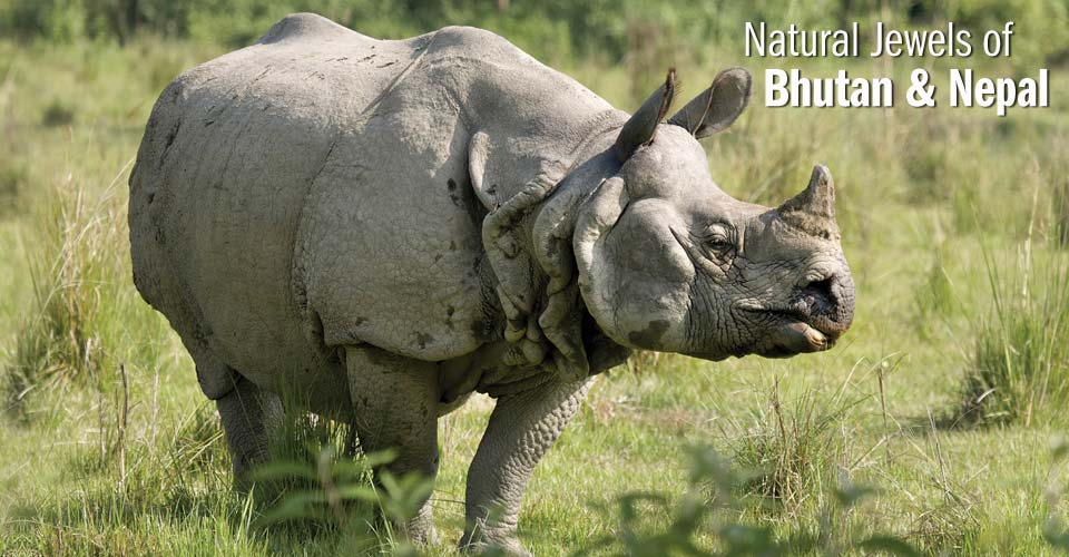 Greater one-horned rhinoceros, Chitwan National Park, Nepal