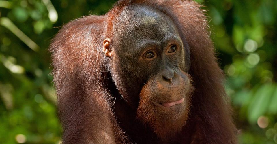 Orangutan, Camp Leakey, Borneo
