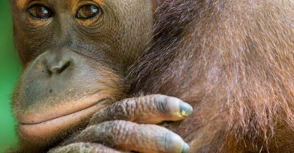 Bornean organgutan, Sepilok Orangutan Sanctuary, Borneo