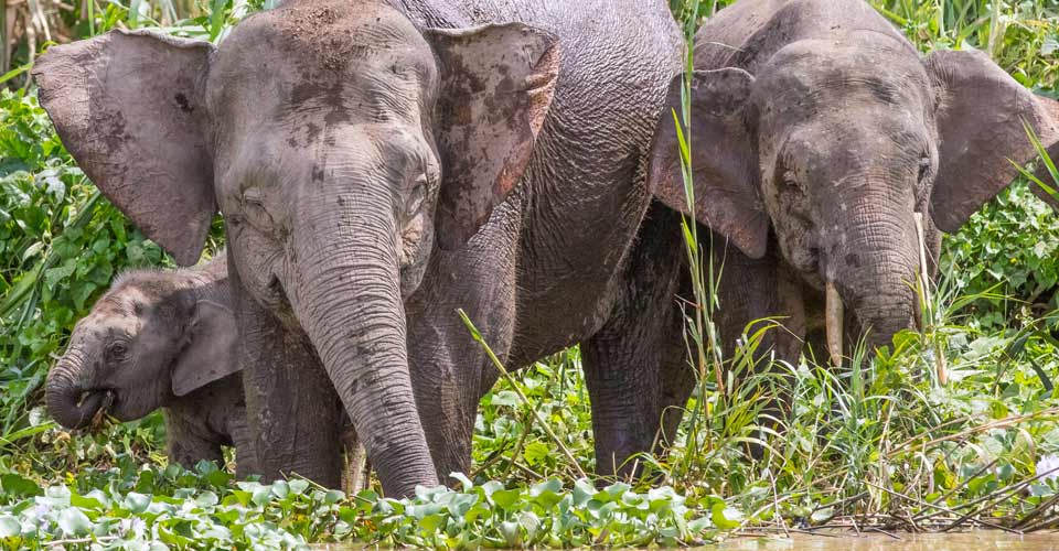 Bornean pygmy elephants, Kinabatangan River, Borneo