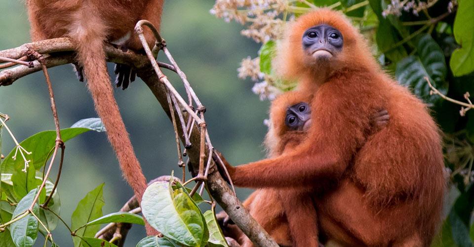 Red leaf monkeys, Kinabatangan Wildlife Sanctuary, Borneo
