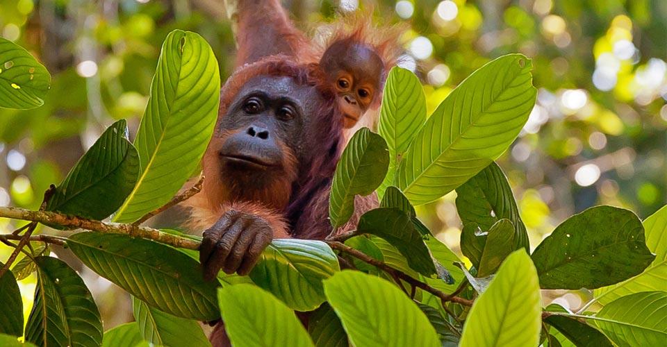 Bornean organgutans, Danum Valley, Borneo